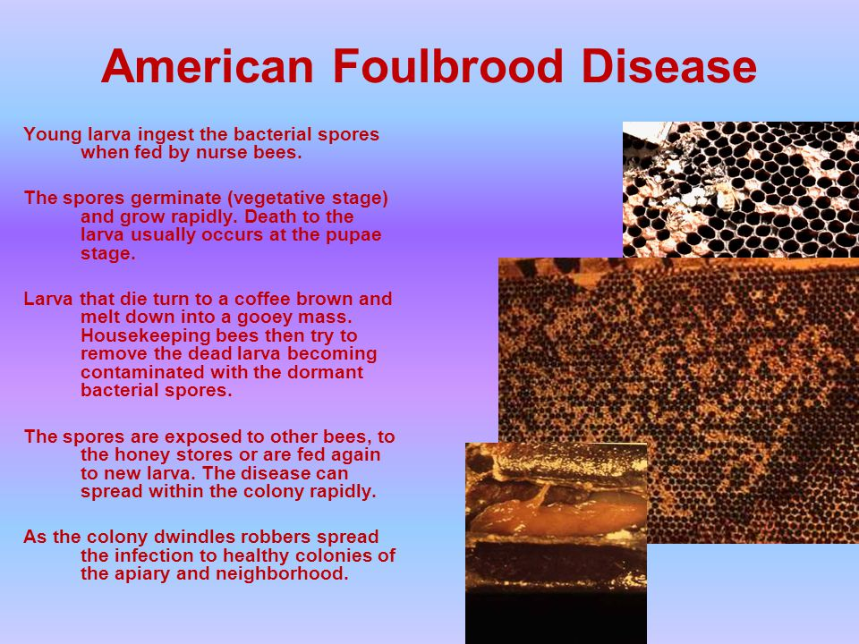 American Foulbrood Disease Young larva ingest the bacterial spores when fed by nurse bees.