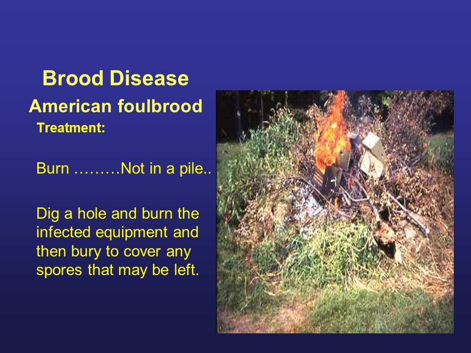 Brood Disease American foulbrood Treatment: Burn ………Not in a pile.. Dig a hole and burn the infected equipment and then bury to cover any spores that