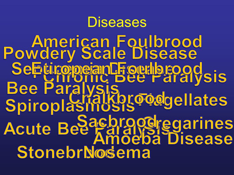 Brood Disease European foulbrood Multiplication and spread The bacteria multiply vigorously in the gut of larval bees which have been given food contaminated with M.