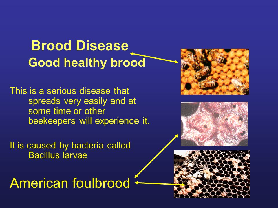 Brood Disease Good healthy brood This is a serious disease that spreads very easily and at some time or other beekeepers will experience it. It is cau