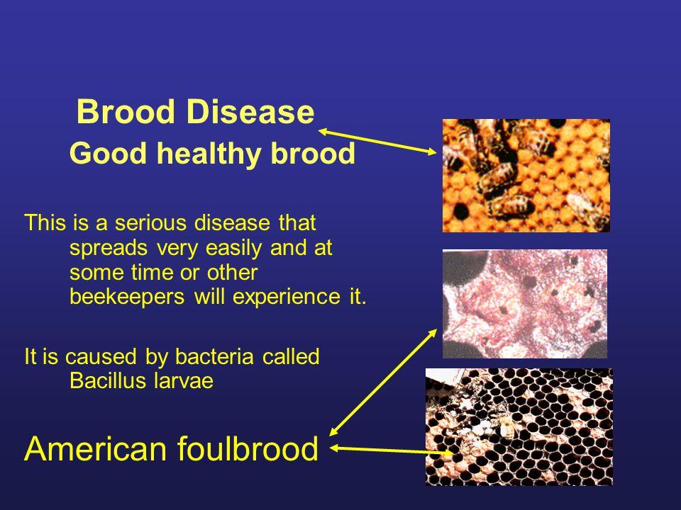 Brood Disease Chalkbrood