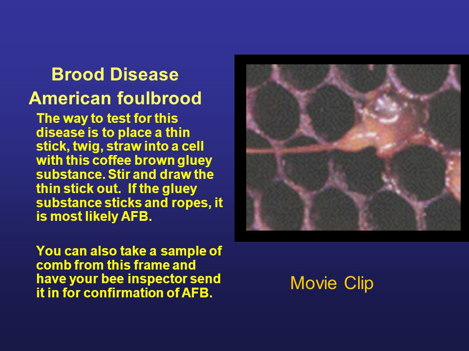 Brood Disease American foulbrood Treatment: If diagnosed as AFB, the colony and bees can be treated with Terramycin or Tylan.