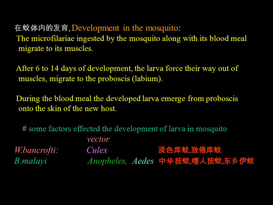 在蚊体内的发育, Development in the mosquito: The microfilariae ingested by the mosquito along with its blood meal migrate to its muscles.