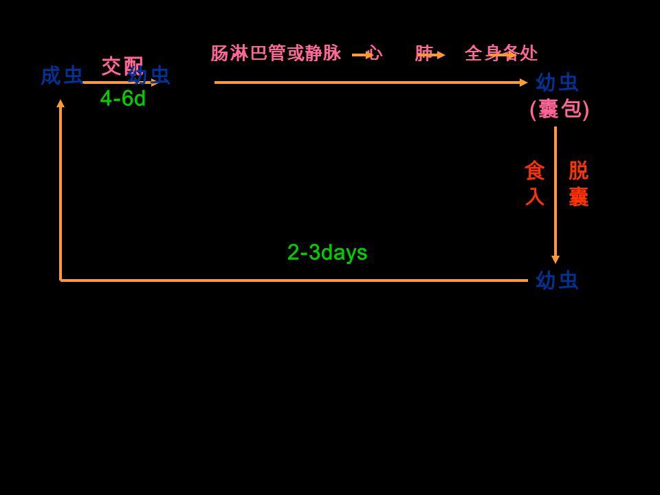 交配 4-6d 肠淋巴管或静脉 心 肺 全身各处 ( 囊包 ) 食入食入 脱囊脱囊 幼虫 2-3days 成虫 幼虫 幼虫