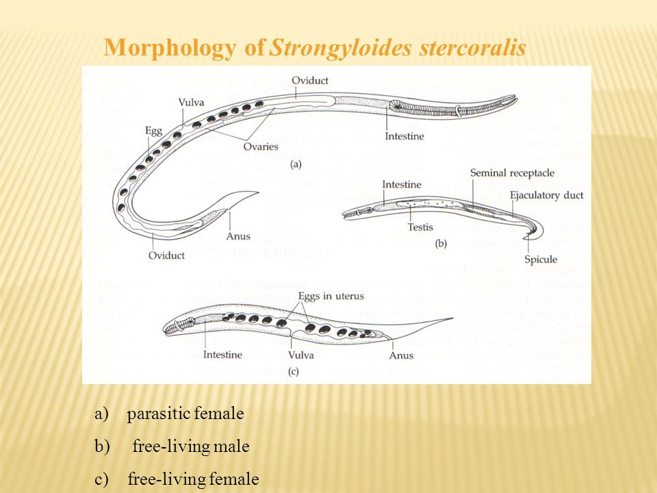 Morphology of Strongyloides stercoralis a)parasitic female b) free-living male c)free-living female