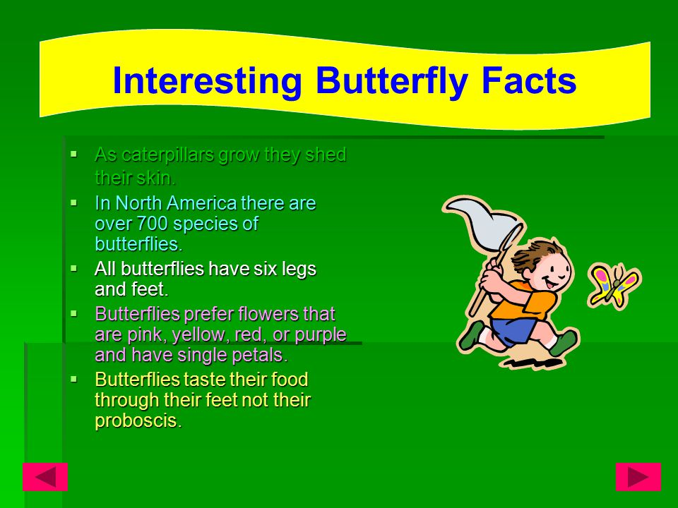 An adult butterflies average life span is about two weeks or less.