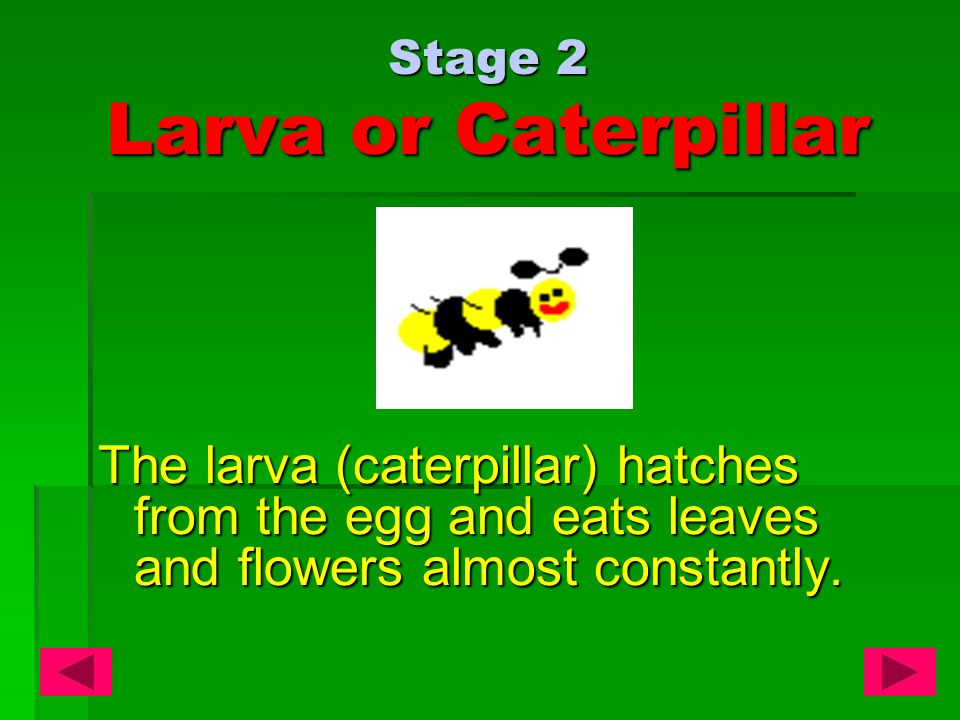Stage 2 Larva or Caterpillar The larva (caterpillar) hatches from the egg and eats leaves and flowers almost constantly.