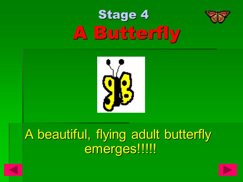 Stage 4 A Butterfly A beautiful, flying adult butterfly emerges!!!!!