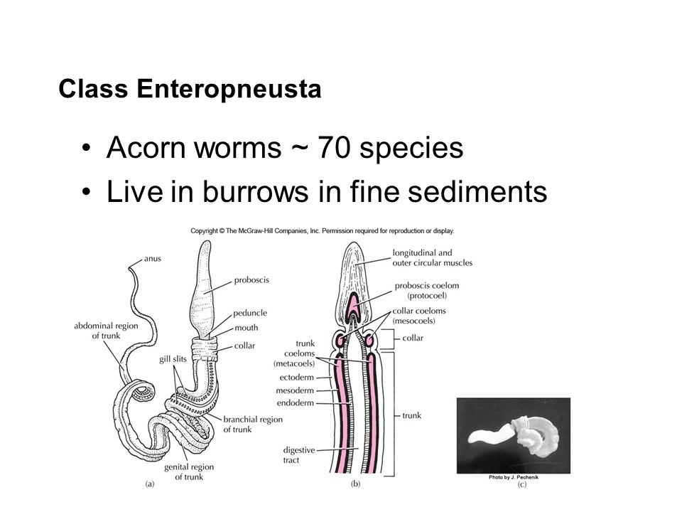 Class Enteropneusta Acorn worms ~ 70 species Live in burrows in fine sediments