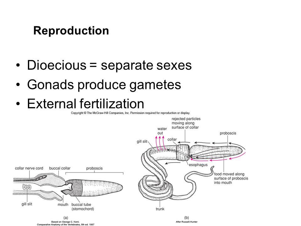 Reproduction Dioecious = separate sexes Gonads produce gametes External fertilization