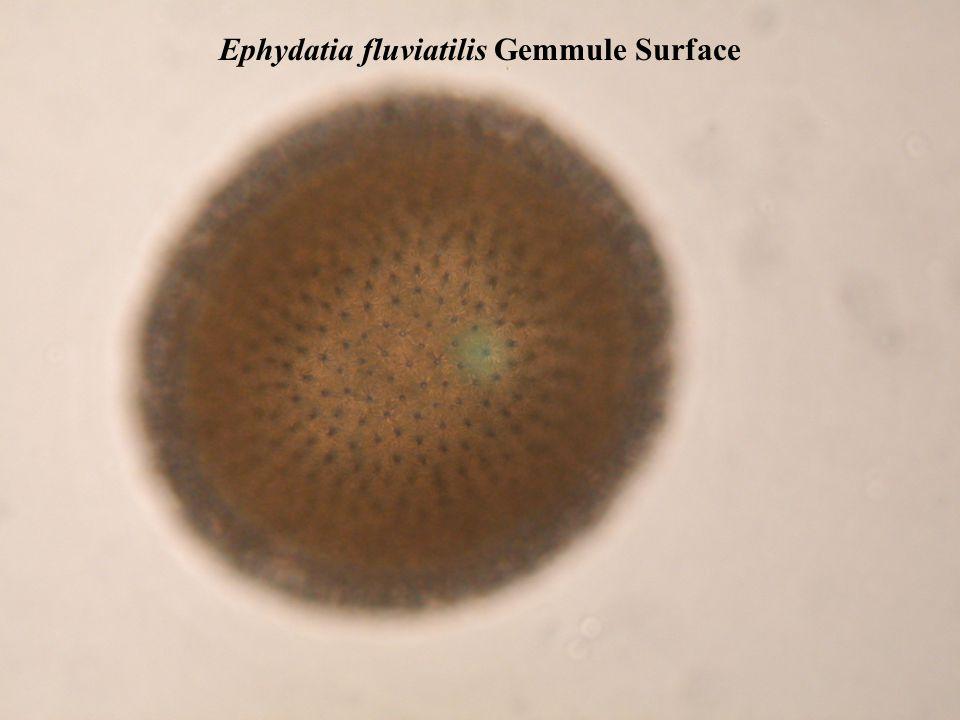 Ephydatia fluviatilis Gemmule Surface