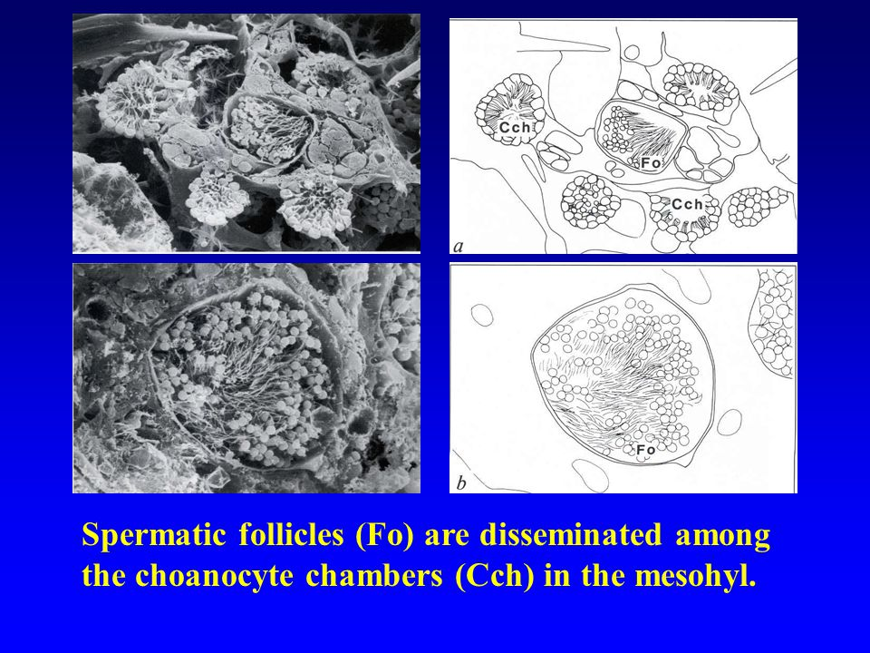 Spermatic follicles (Fo) are disseminated among the choanocyte chambers (Cch) in the mesohyl.