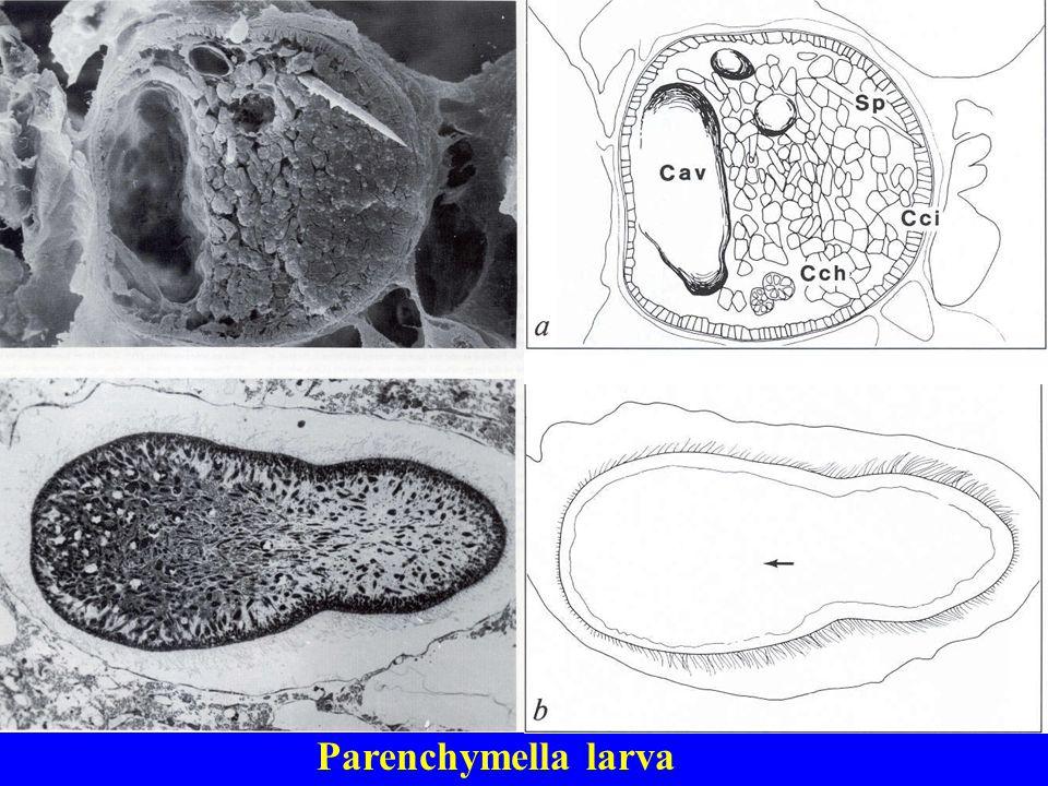 Parenchymella larva