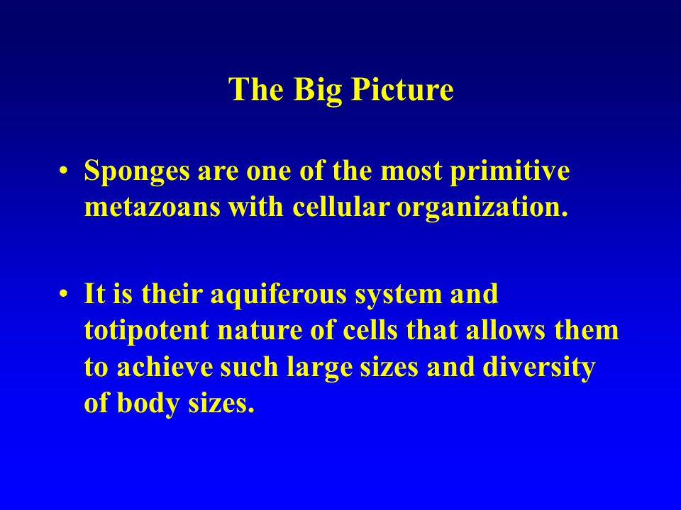 The Big Picture Sponges are one of the most primitive metazoans with cellular organization.