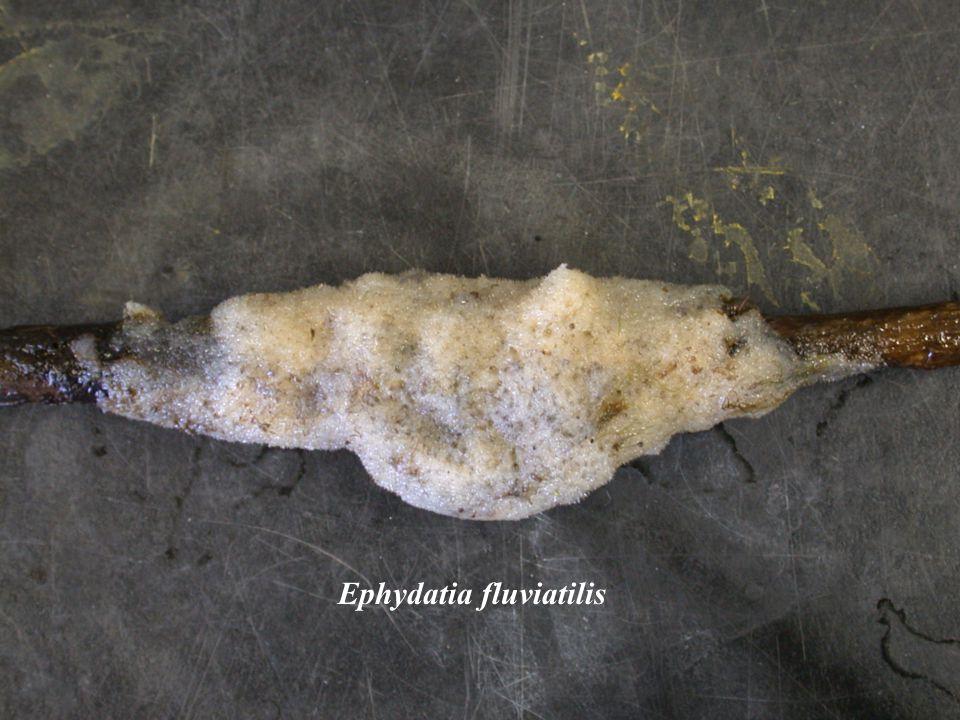 Fertilization in Viviparous Sponges After release the sperm is taken in to the aquiferous system.