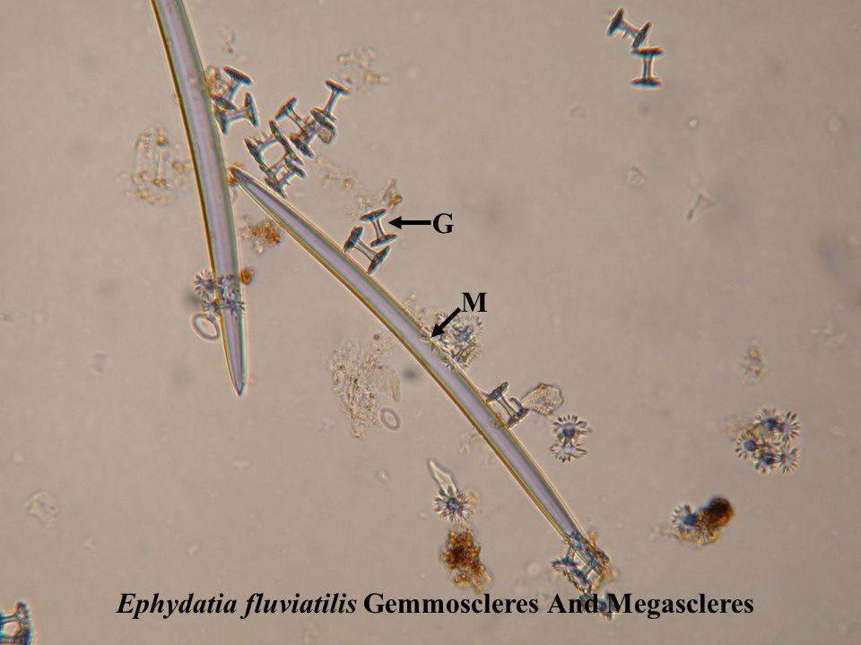 Ephydatia fluviatilis Gemmules