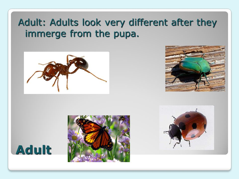 Adult Adult: Adults look very different after they immerge from the pupa.