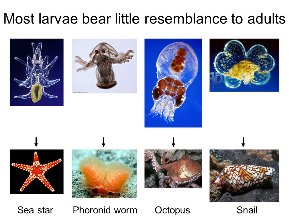 Most larvae bear little resemblance to adults Sea star Phoronid worm Octopus Snail
