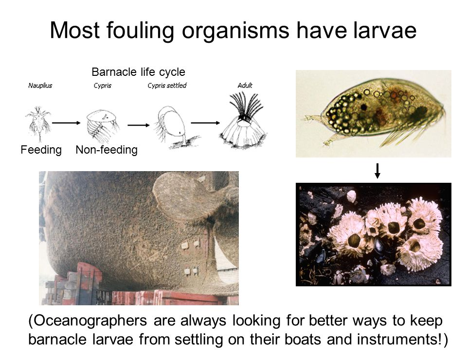 Most fouling organisms have larvae (Oceanographers are always looking for better ways to keep barnacle larvae from settling on their boats and instrum