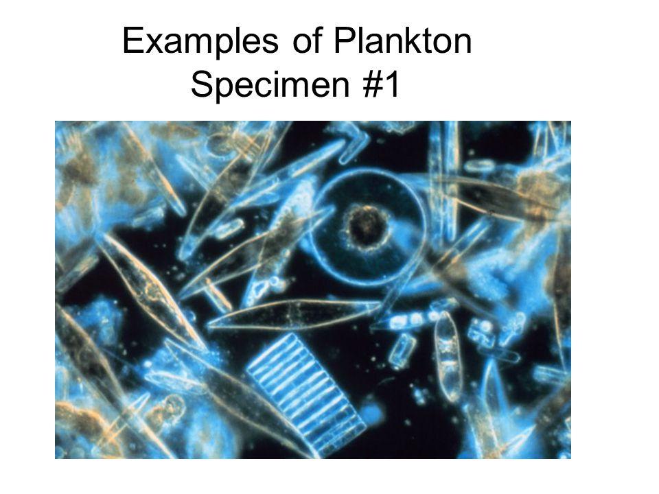 Examples of Plankton Specimen #1