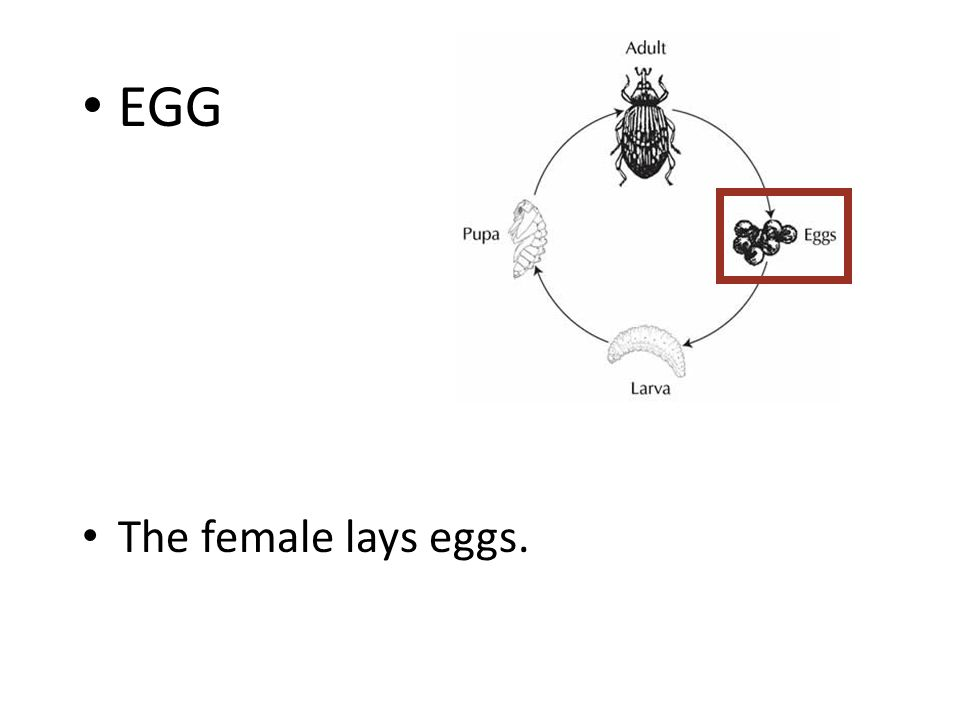 Ecdysone: Molting Hormone Steroid hormone produced by prothoracic gland (lipid soluble, passes through cell membrane to the nucleus) Activates early response genes (TFs) and then late response genes (may cause differentiation,cell proliferation and migration, structural changes, apoptosis) Primes insect to respond to second hormone, EH Ec EcR USP Binding Site Early Response: Transcription Factors Late Response: Transcription initiated by Transcription Factors