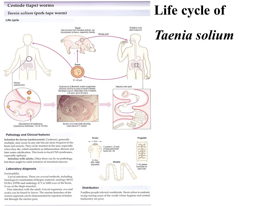 Life cycle of Taenia solium
