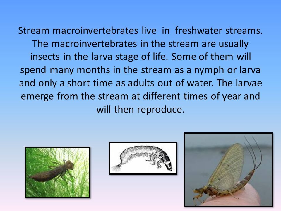 Stream macroinvertebrates live in freshwater streams. The macroinvertebrates in the stream are usually insects in the larva stage of life. Some of the