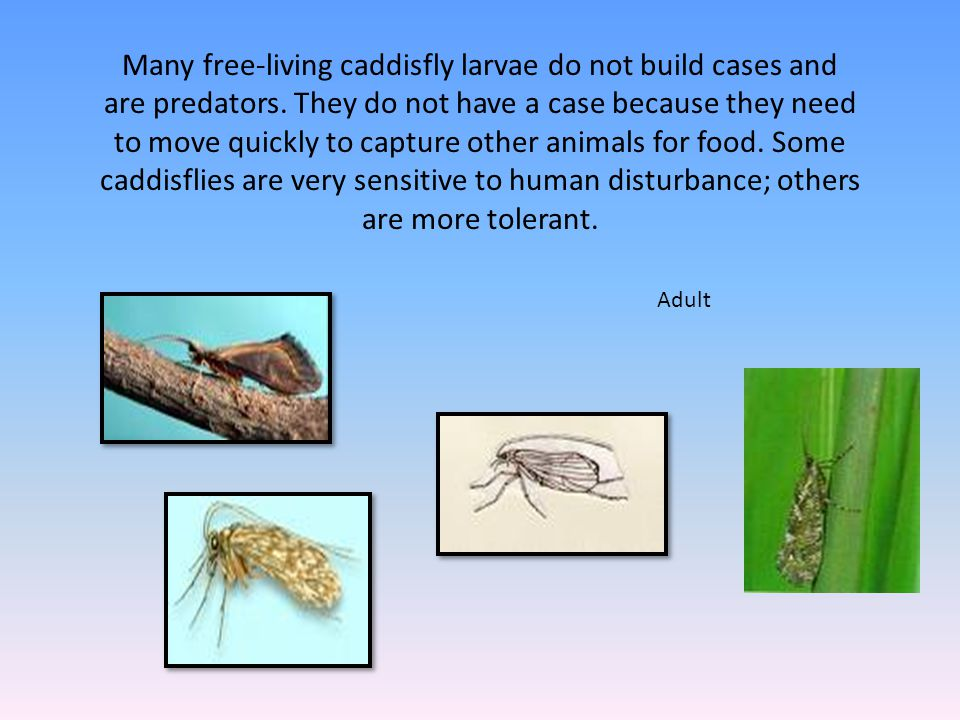 Many free-living caddisfly larvae do not build cases and are predators. They do not have a case because they need to move quickly to capture other ani