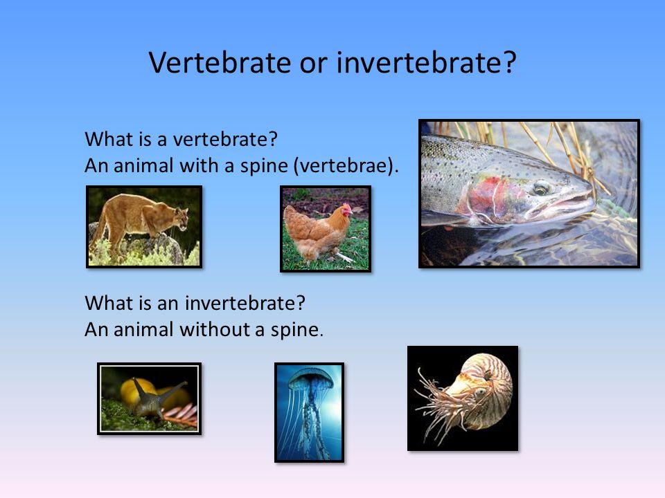 Vertebrate or invertebrate.What is a vertebrate. An animal with a spine (vertebrae).