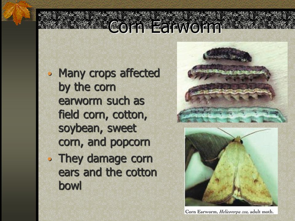 Corn Earworm Many crops affected by the corn earworm such as field corn, cotton, soybean, sweet corn, and popcorn Many crops affected by the corn earworm such as field corn, cotton, soybean, sweet corn, and popcorn They damage corn ears and the cotton bowl They damage corn ears and the cotton bowl