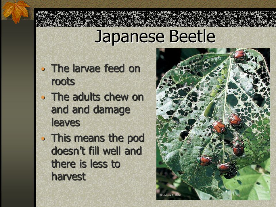 Japanese Beetle The larvae feed on roots The larvae feed on roots The adults chew on and and damage leaves The adults chew on and and damage leaves This means the pod doesn't fill well and there is less to harvest This means the pod doesn't fill well and there is less to harvest