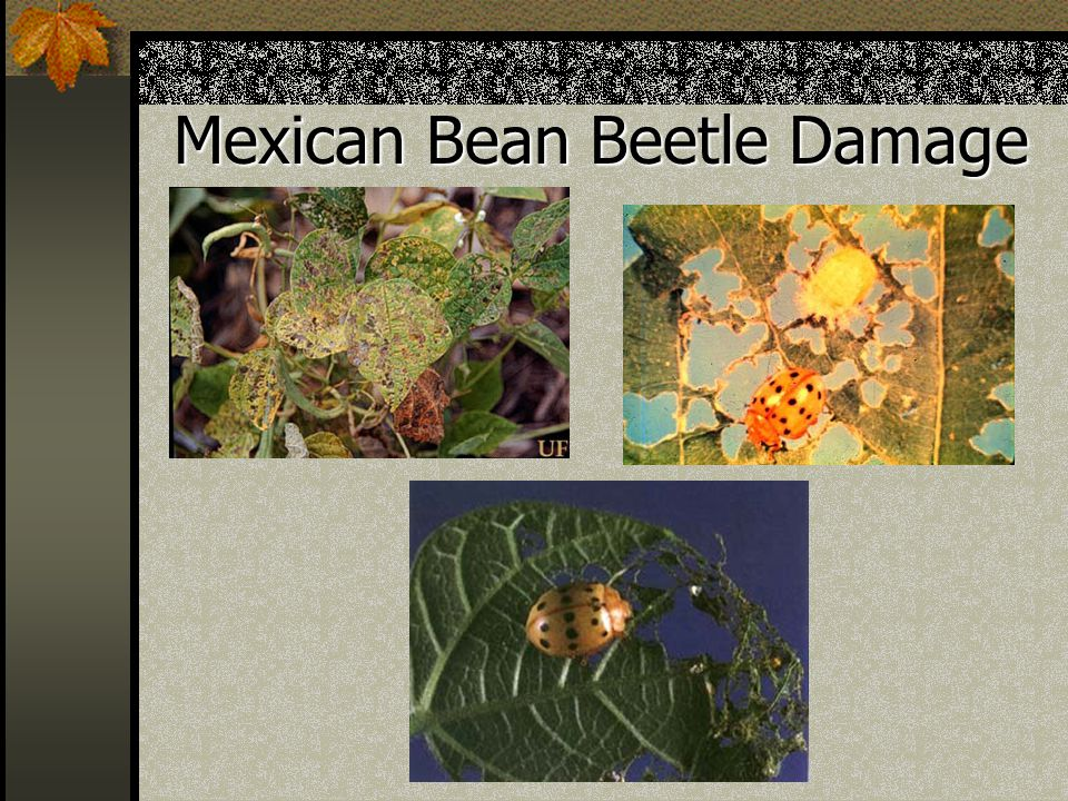 Mexican Bean Beetle Damage