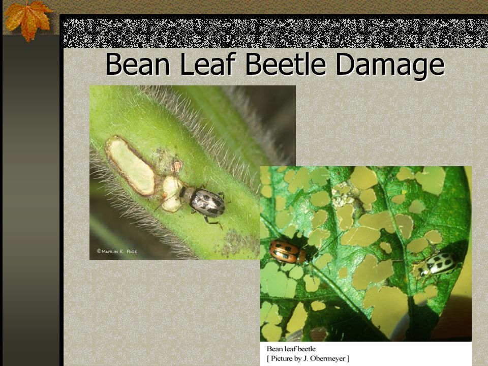Bean Leaf Beetle Damage
