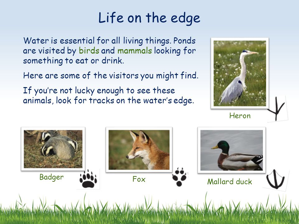 Water is essential for all living things. Ponds are visited by birds and mammals looking for something to eat or drink. Here are some of the visitors