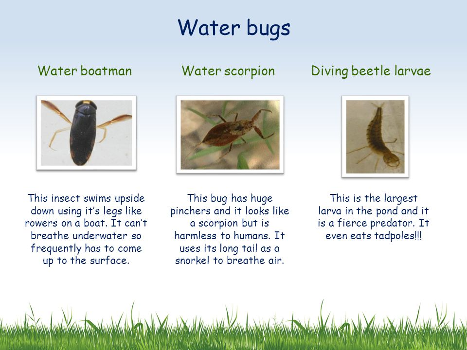 Water boatmanWater scorpionDiving beetle larvae This insect swims upside down using it's legs like rowers on a boat. It can't breathe underwater so fr