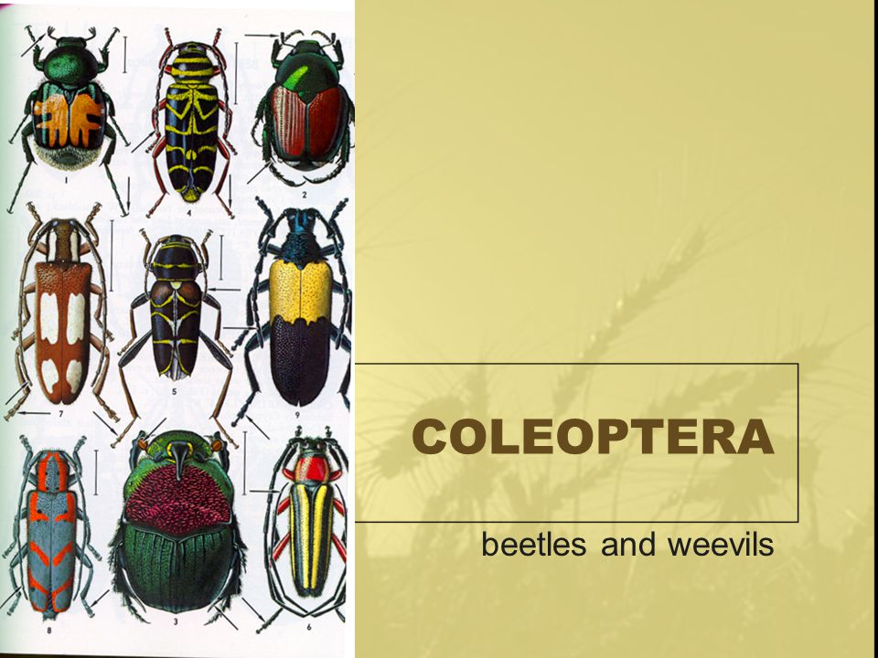 COLEOPTERA beetles and weevils