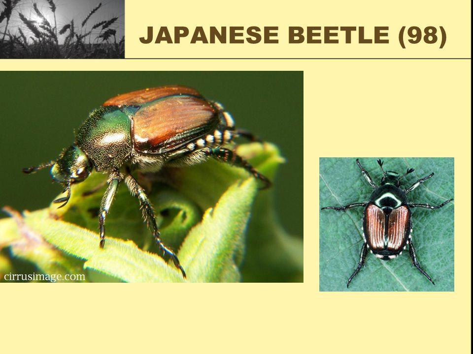 JAPANESE BEETLE (98)