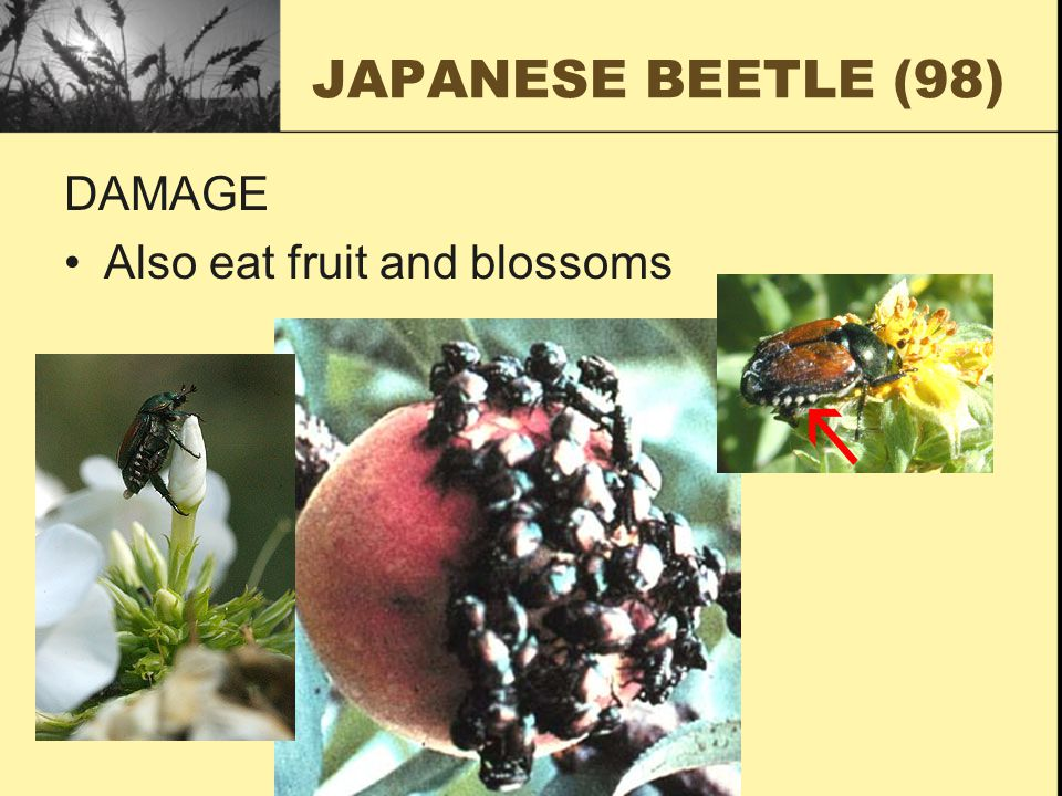 JAPANESE BEETLE (98) DAMAGE Also eat fruit and blossoms
