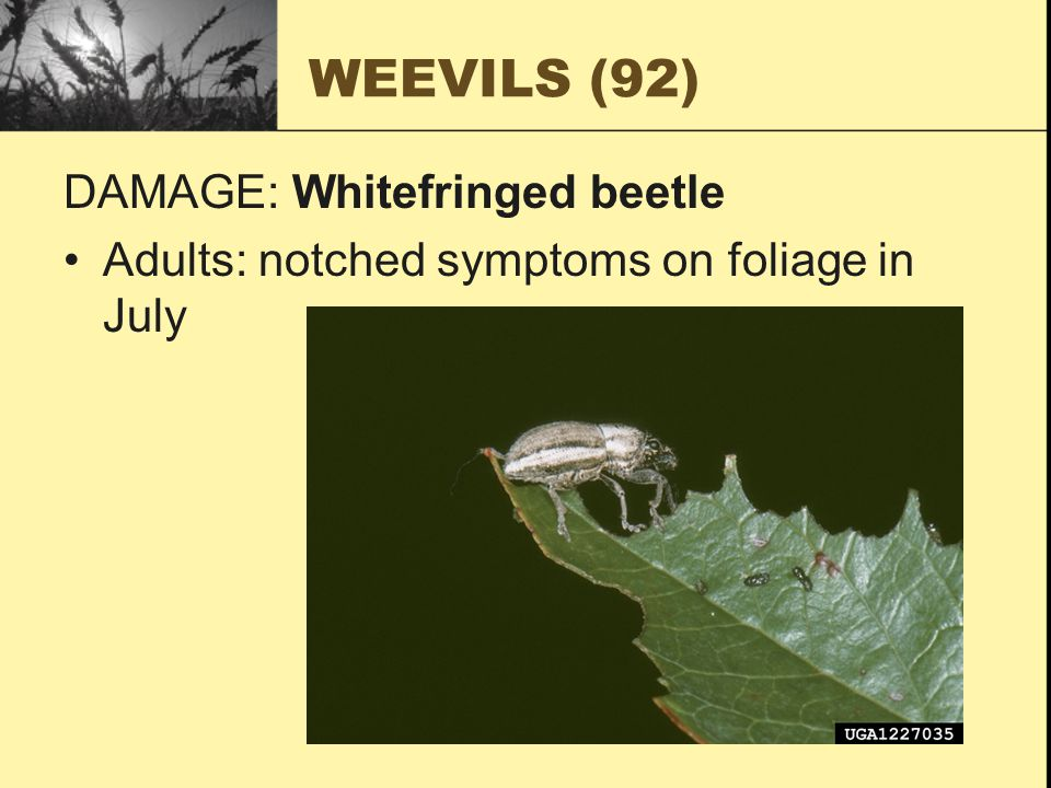 WEEVILS (92) DAMAGE: Whitefringed beetle Adults: notched symptoms on foliage in July