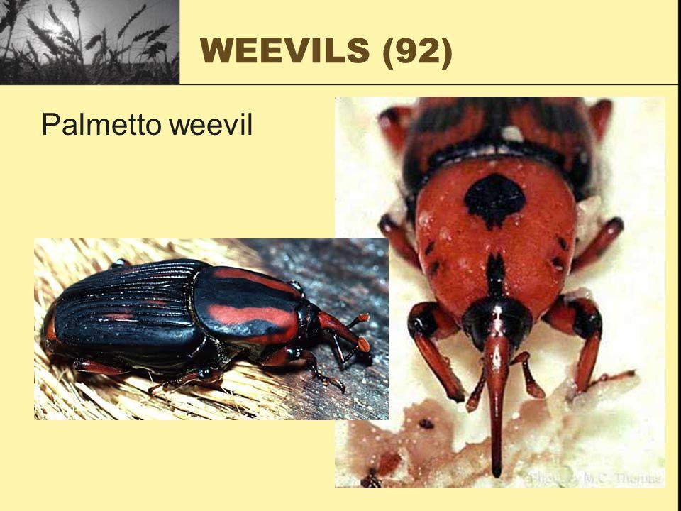 WEEVILS (92) Palmetto weevil
