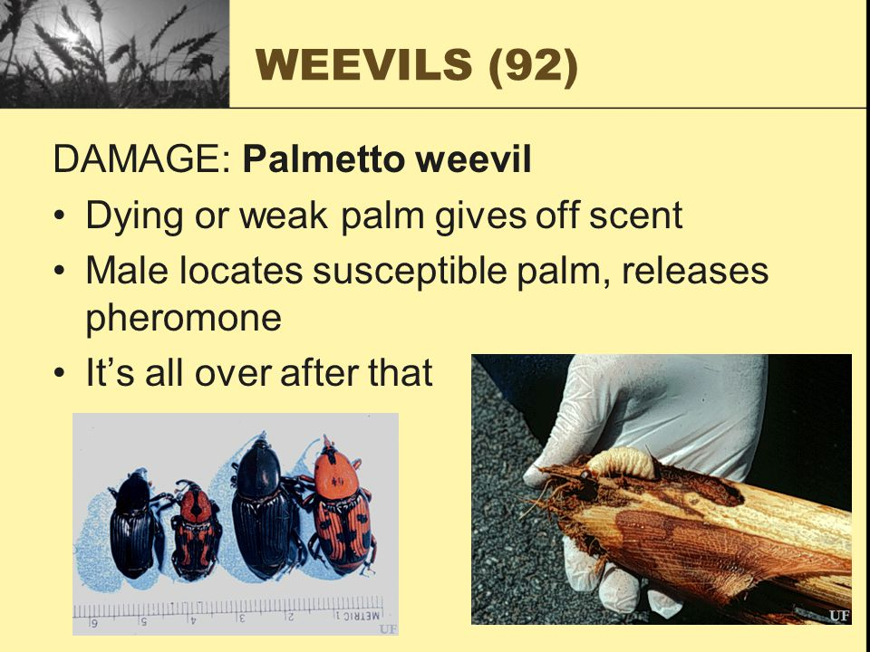 WEEVILS (92) DAMAGE: Palmetto weevil Dying or weak palm gives off scent Male locates susceptible palm, releases pheromone It's all over after that