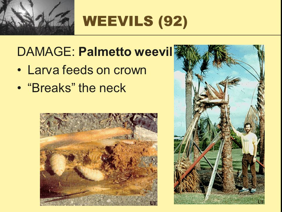 WEEVILS (92) DAMAGE: Palmetto weevil Larva feeds on crown Breaks the neck