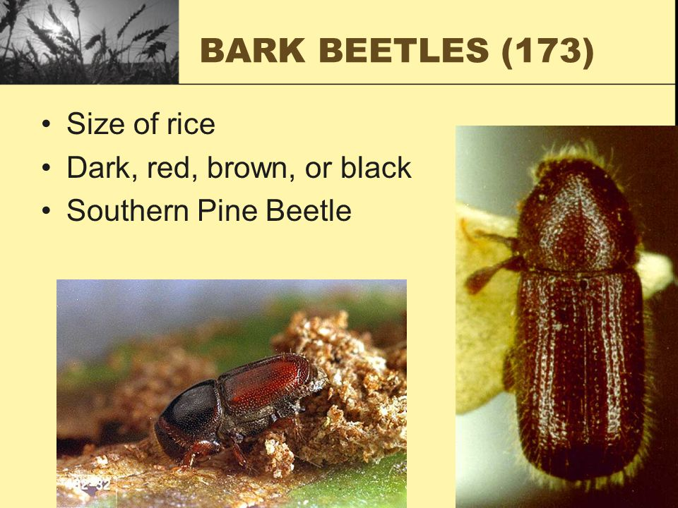 BARK BEETLES (173) Size of rice Dark, red, brown, or black Southern Pine Beetle