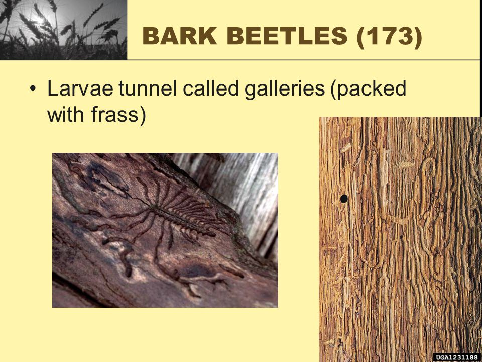 BARK BEETLES (173) Larvae tunnel called galleries (packed with frass)