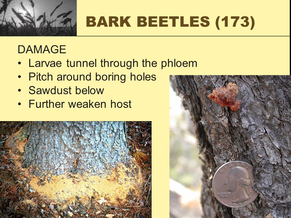 BARK BEETLES (173) DAMAGE Larvae tunnel through the phloem Pitch around boring holes Sawdust below Further weaken host