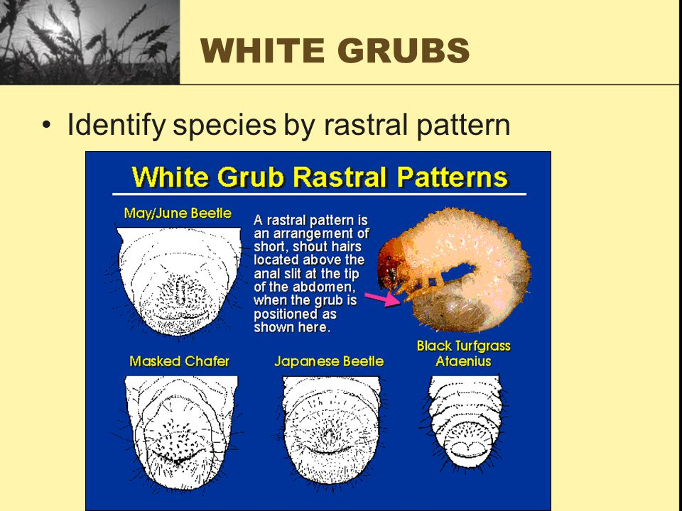 WHITE GRUBS Identify species by rastral pattern