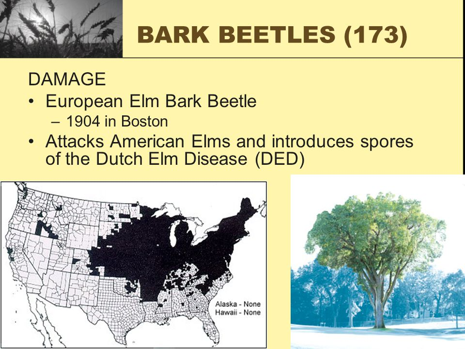 BARK BEETLES (173) DAMAGE European Elm Bark Beetle –1904 in Boston Attacks American Elms and introduces spores of the Dutch Elm Disease (DED)