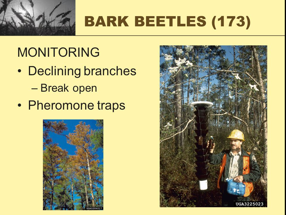 MONITORING Declining branches –Break open Pheromone traps