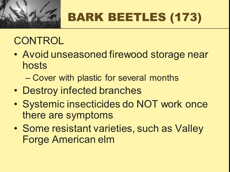 BARK BEETLES (173) CONTROL Avoid unseasoned firewood storage near hosts –Cover with plastic for several months Destroy infected branches Systemic insecticides do NOT work once there are symptoms Some resistant varieties, such as Valley Forge American elm