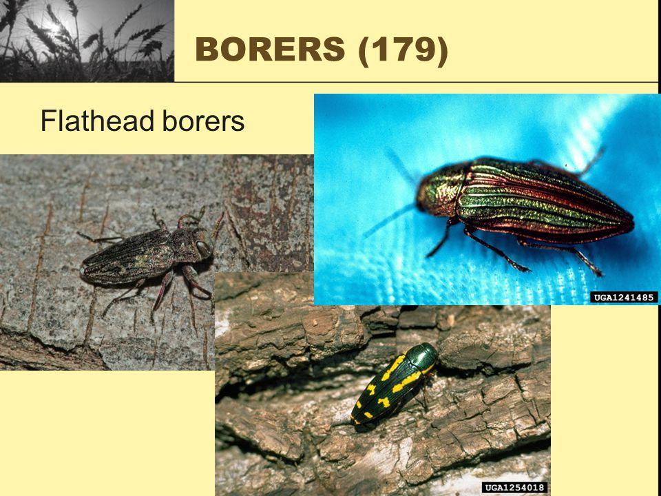 BORERS (179) Flathead borers